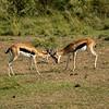 Thompsons Gazelles head-butting, Maasai Mara, Kenya