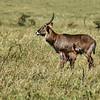 Waterbuck doe and fawn, Maasai Mara, Kenya