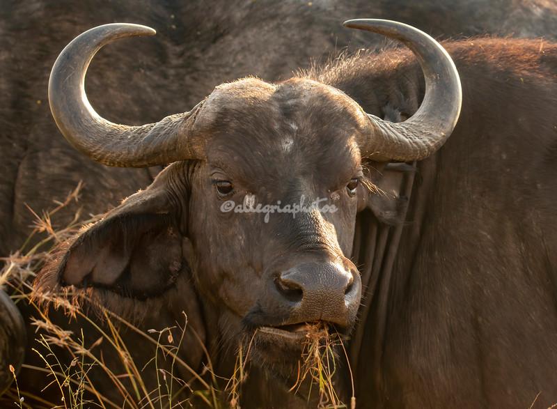 Cape Buffalo, Maasai Mara, Kenya
