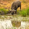 Cape Bufflo drinking at water hole, Kenya