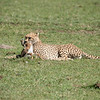 Cheetah with its fresh kill, Maasai Mara, Kenya