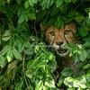Cheetah Cub, St Louis Zoo, St Louis, Missouri, USA.