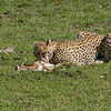 Cheetah eating its kill, Maasai Mara, Kenya