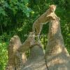 Cheetah Cubs, St Louis Zoo, St Louis, Missouri, USA.