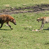 Hyena approaching a Cheetah with its fresh kill, Maasai Mara, Kenya