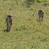 Cheetahs on the prowl, Maasai Mara, Kenya