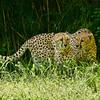 Cheetahs, St Louis Zoo