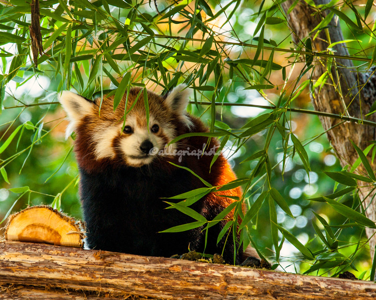 Red panda amongst bamboo, St. Louis zoo