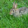 A young rabbit, St Louis, Missouri, USA