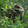 A Racoon in Forest Park, St Louis