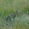 Serval Cat, Maasai Mara