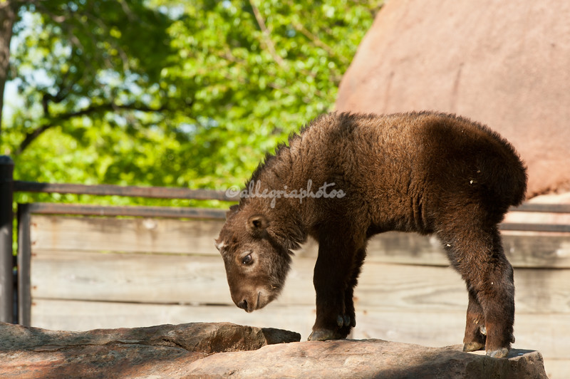 Baby Takin in the spring, St. Louis Zoo