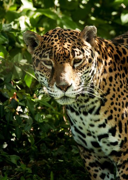 Jaguar , St Louis Zoo
