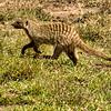 Banded Mongoose, Maasai Mara, Kenya