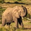 Male elephant, Maasai Mara, Kenya