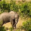 Elephant calf, Maasai Mara, Kenya