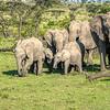 Herd of elephants, Maasai Mara, Kenya