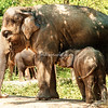 Mother Asian elephant and nursing calf, St. Louis zoo