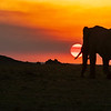 Elephant at sunset, Maasai Mara, Kenya