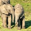 A pair of elephant calves at play, Maasai Mara, Kenya