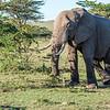 Bull Elephant, Maasai Mara, Kenya