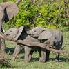 Elephant calves trying to break off a branch, Maasai Mara, Kenya
