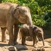 A pair of Asian elephants