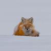 Red fox sleeping on snow, Yellowstone National Park