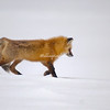 Red fox walking across the snow, Yellowstone National Park