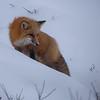 Redf Fox