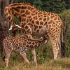 A nursing Rothschilds Giraffe at Giraffe Manor, Nairobi, Kenya