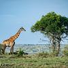 Maasai Giraffe about to graze on an acacia tree, Maasai Mara, Kenya