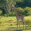 Maasai Giraffe, Maasai Mara, Kenya