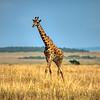 Maasai Giraffe plodding across the plains, Maasai Mara, Kenya