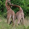 Playful young Maasai Giraffe, Nairobi Game Park, Kenya