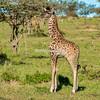 Baby Maasai giraffe, Maasai Mara, Kenya