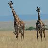 Maasai Giraffes walking across the grasslands, Maasai Mara, Kenya