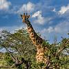 Maasai Giraffe amongst the trees, Maasai Mara, Kenya