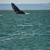 A breeching gray whale, San Ignacio Lagoon