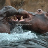 Hippos sparring in the water