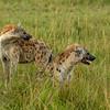 Hyenas, Maasai Mara, Kenya
