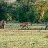Small pack of hyenas, Maasai Mara, Kenya