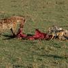Hyena, jackal, and vulture sharing a kill, Maasai Mara