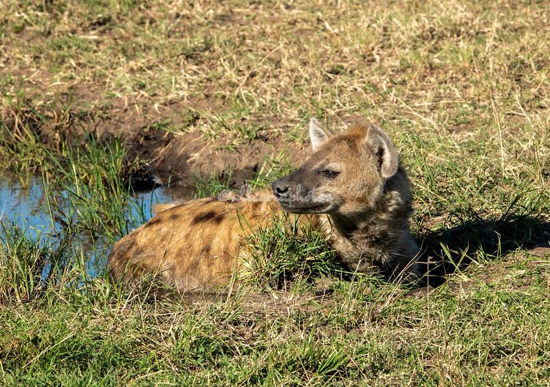 Hyena keeping cool, Maasai Mara, Kenya
