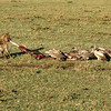 Hyena and vultures in a tug of war, Maasai Mara, Kenya