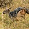 Jackal on the run, Nairobi Game Park, Kenya