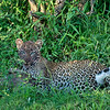 Leopard Cub over a kill, Maasai Mara, Kenya