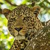 Adult male leopard in tree, Maasai Mara, Kenya