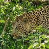 Leopard skulking in the grass, Maasai Mara, Kenya