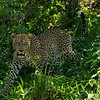 Adult Leopard stalking through the bush, Maasai Mara, Kenya